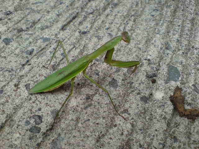 かまきり。漢字で蟷螂と螳螂。 こんなん書けるか。馬鹿野郎