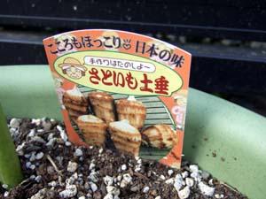 里芋(種芋)