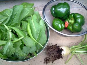 カラーピーマン収穫