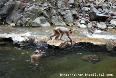 温泉に入るお猿たち