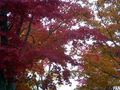 昭和記念公園紅葉11