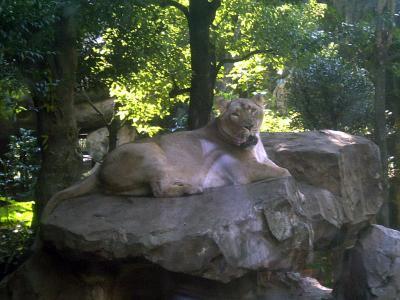 上野動物園ライオン2