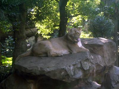 上野動物園ライオン3