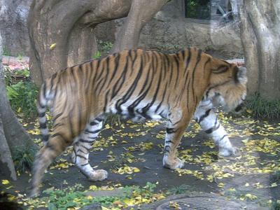 上野動物園トラ1