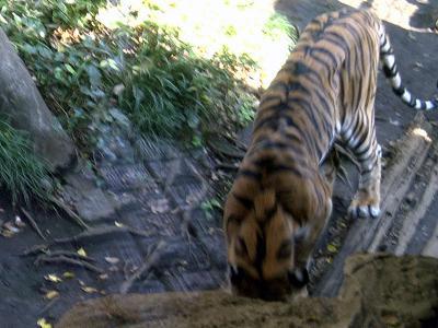 上野動物園トラ2