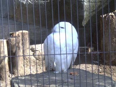 上野動物園シロフクロウ1