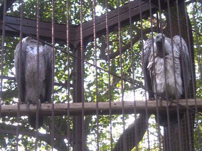 上野動物園コシジロハゲワシ