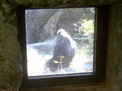 上野動物園ゴリラ1