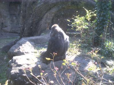 上野動物園ゴリラ2