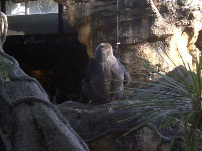 上野動物園ゴリラ3