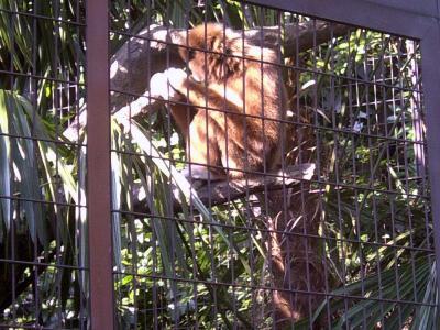 上野動物園シロテナガザル1