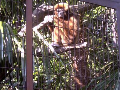 上野動物園シロテナガザル2