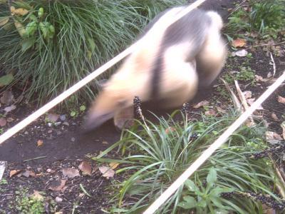 上野動物園コアリクイ1