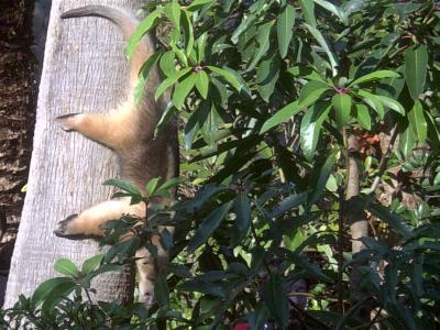 上野動物園コアリクイ5