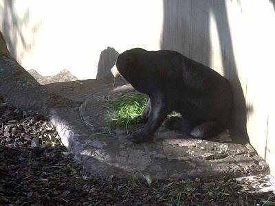 上野動物園マレーグマ1
