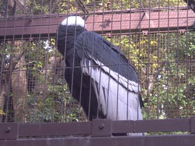 上野動物園コンドル1