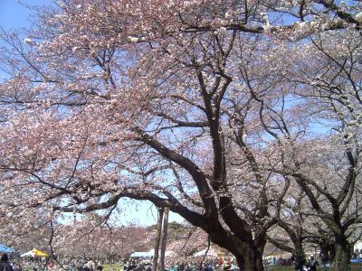 小金井公園桜2009a