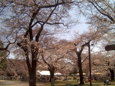 小金井公園桜2009b
