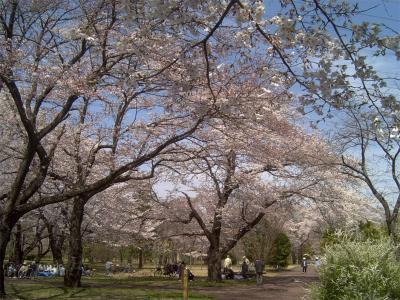 武蔵野公園桜1