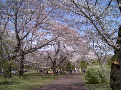 武蔵野公園桜2