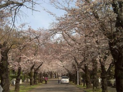 霊園の桜1