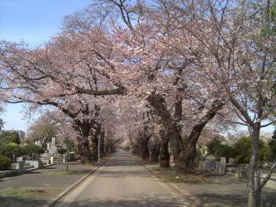 霊園の桜2