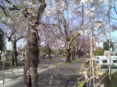 霊園の桜3