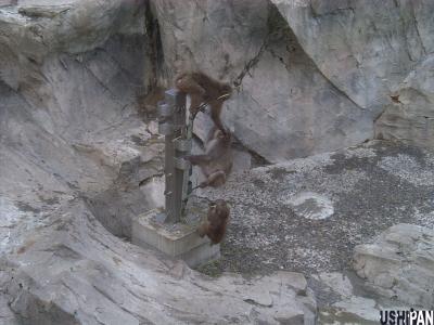 上野動物園ニホンザル2
