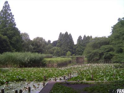 善福寺公園のスイレン1
