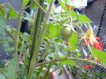 トマト発見