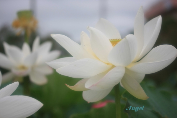 古代蓮Angel(74)
