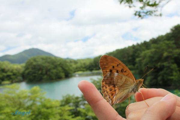 毘沙門沼の手乗り蝶Angel(161)