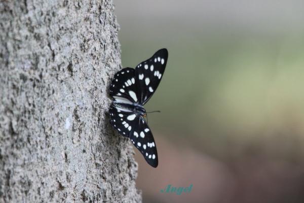 謎の蝶Angel(63)