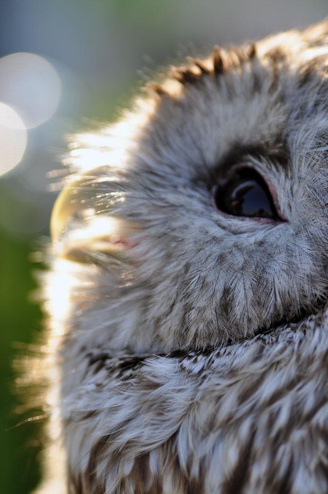 フクロウのマクロ写真