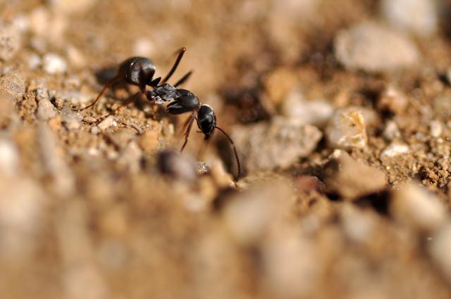 アリのマクロ撮影
