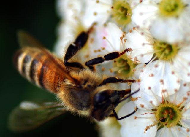ハチのマクロ写真