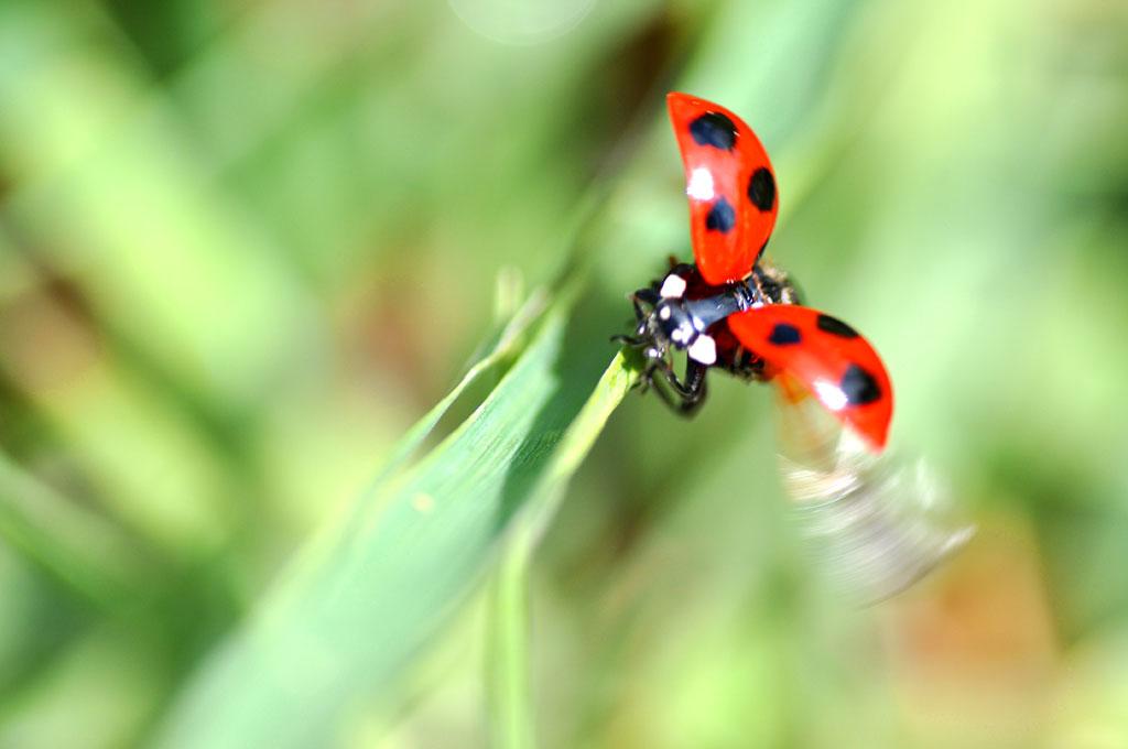 てんとう虫の飛び立つ直前のマクロ写真