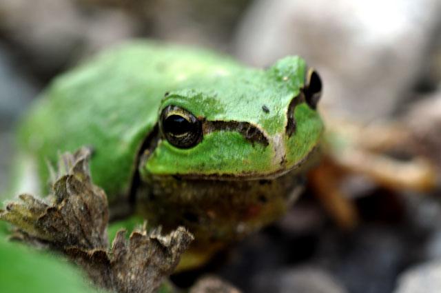 カエルのマクロ写真