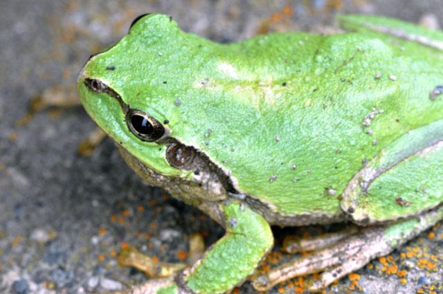蛙の横向きマクロ写真