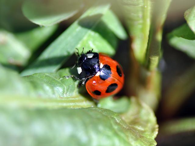 てんとう虫のマクロ写真