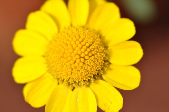 ライオンみたいな花のマクロ写真