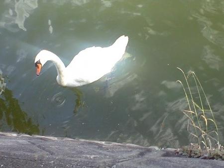 白鳥さんは涼しげ