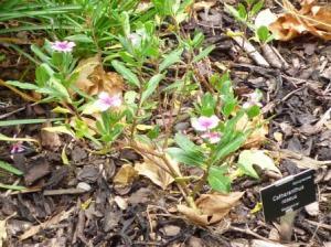 catharanathus roseus