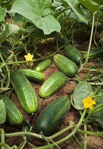 wikipedia cucumber