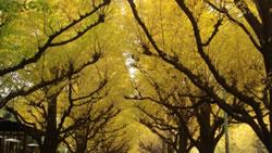 イチョウの並木道