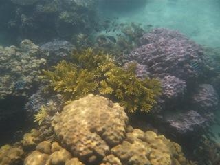 tunabay coral