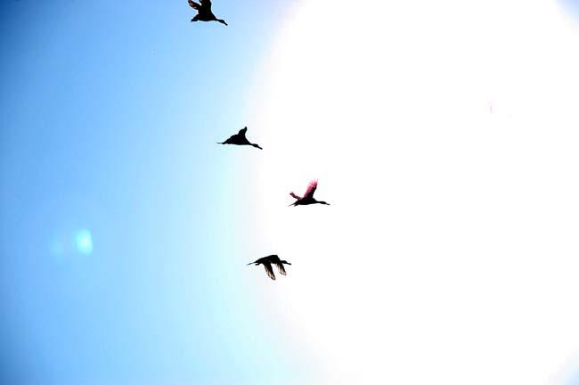 4月13日渡り鳥 (21)