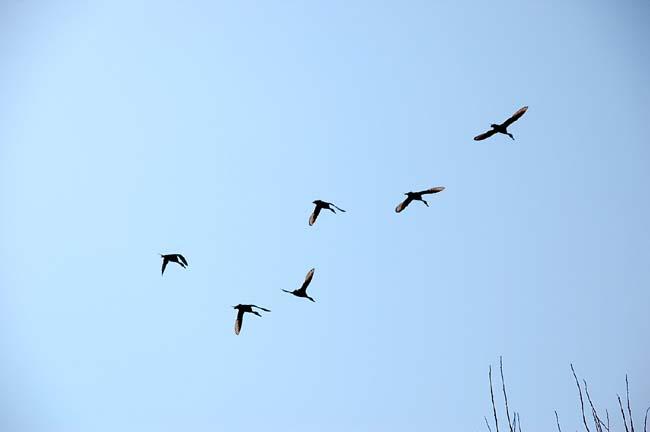 4月13日渡り鳥 (22)
