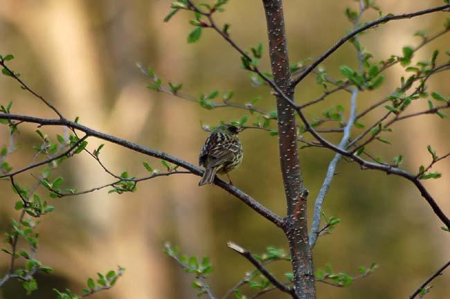 5月7日小鳥とスミレ (16)