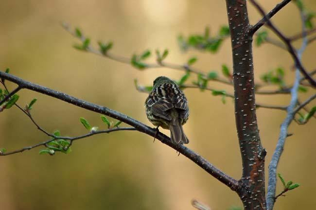 5月7日小鳥とスミレ (17)